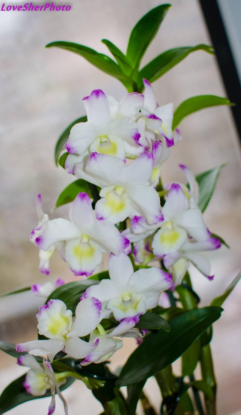 Орхидей дендробиум уход в домашних условиях фото